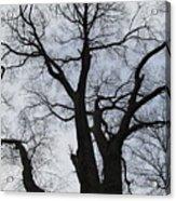 Old Oak Overcast Acrylic Print