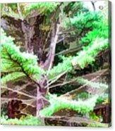 Old Pine Tree Acrylic Print