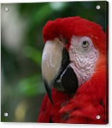 Old Red Parrot Acrylic Print