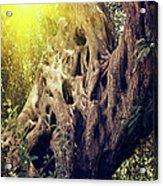 Old Sacred Olive Tree  Acrylic Print