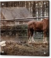 Old Stayer Acrylic Print