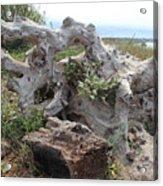 Old Stump At Gold Beach Oregon 4 Acrylic Print