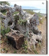 Old Stump At Gold Beach Oregon 5 Acrylic Print
