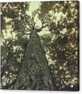 Old Sugar Maple Tree Acrylic Print