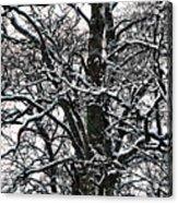 Old Tree 5 Acrylic Print