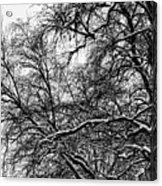 Old Tree 6 Acrylic Print