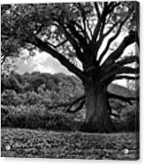 Old Tree In Germany Acrylic Print