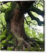 Old Tree In Kyoto Acrylic Print by Carol Groenen