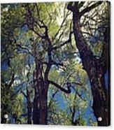 Old Trees Acrylic Print