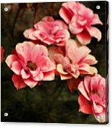 Old Victorian Fuchsia Pink Rose Acrylic Print