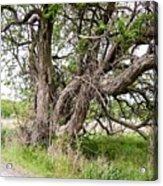 Old Weathered Tree Acrylic Print