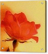 Old World Rose Acrylic Print