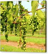 Old York Winery Grapes Acrylic Print