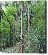 Oldest Tree In Secret Falls Or Uluwehi Falls Acrylic Print