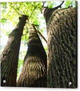 Oldgrowth Tulip Tree Acrylic Print