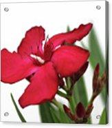 Oleander Blood-red Velvet 2 Acrylic Print
