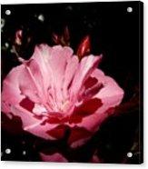 Oleander Bloom Acrylic Print