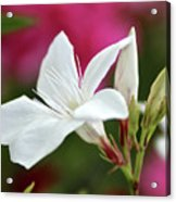 Oleander Casablanca 2 Acrylic Print