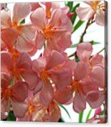 Oleander Dr. Ragioneri 4 Acrylic Print