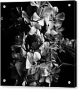 Oleander Flowers In Black And White 2 Acrylic Print