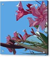 Oleander Flowers Wilting In The Brutal Florida Sun    Acrylic Print