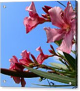 Oleander Flowers Wilting In The Brutal Florida Sun  Acrylic Print