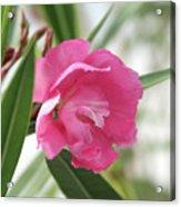 Oleander Splendens Giganteum 3 Acrylic Print