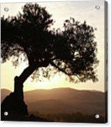 Olive At Sunset Acrylic Print