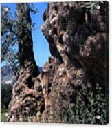 Olive Tree 2000 Years Old Acrylic Print