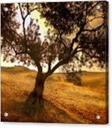Olive Tree Dawn Acrylic Print