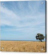 Olive Tree On The Wheat Field  Acrylic Print
