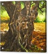 Olive Tree Rooted 1 Acrylic Print