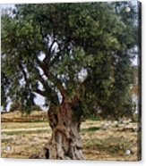Olive Tree Sicily Acrylic Print