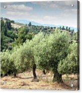 Olive Trees Hill Acrylic Print