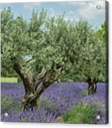 Olive Trees Of Provence Acrylic Print