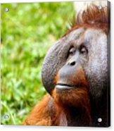 Ollie The Orangutang Acrylic Print