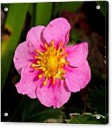 Olympia Pink Acrylic Print