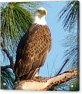 Olympia Street Eagle Acrylic Print by Sandy Poore