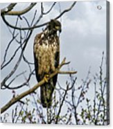 On The Lookout Acrylic Print