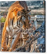 On The Prowl Acrylic Print