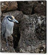 On The Rocks - Yellow-crowned Night Heron Acrylic Print
