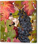 On The Vine Acrylic Print
