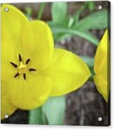One And A Half Yellow Tulips Acrylic Print