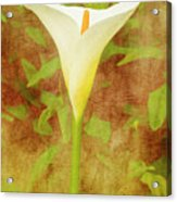 One Arum Lily Acrylic Print