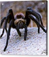 One Big Hairy Spider Acrylic Print