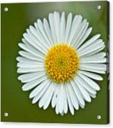 One Daisy Acrylic Print