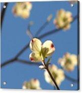 One Dogwood Blooms Acrylic Print