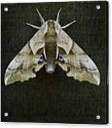 One Eyed Sphinx Moth Acrylic Print