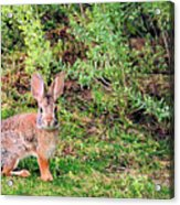 One Hop From The Warren Acrylic Print