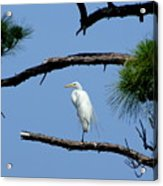 One Leg Perch - Debbie May Acrylic Print